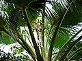 Pritchardia schattaueri (5250315420).jpg
