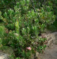 Protea obtusifolia Holiday Red 1.jpg