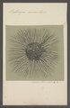 Protomyca aurantiaca - - Print - Iconographia Zoologica - Special Collections University of Amsterdam - UBAINV0274 113 08 0003.tif