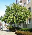 Prunus-armeniaca-Potsdam-Wilhelmplatz-17-10-2007-60.jpg