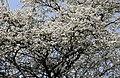 Prunus cerasifera 2016 G1.jpg