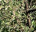 Prunus fasciculata 6.jpg