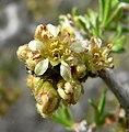 Prunus fasciculata 7.jpg