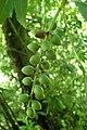 Prunus laurocerasus kz1.jpg