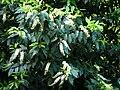 Prunus lusitanica C4.jpg