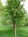 Prunus maackii 01 by Line1.jpg
