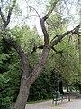 Prunus mahaleb5.jpg