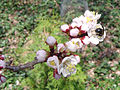Prunus mandshurica with bee 1.jpg