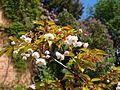 Prunus serrulata (Poltava Botanical garden).jpg