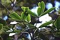 Pseudopanax colensoi in Aoraki Mount Cook NP 02.jpg