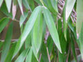 Pseudosasa japonica0.jpg