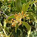 Psittacanthus calyculatus (Family Loranthaceae) - Bud.jpg