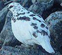 Ptarmigan Raicyou Male in kamikouchidake 2003 11 23.jpg