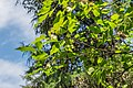 Ptelea trifoliata subsp polyadenia in La Jaysinia (2).jpg