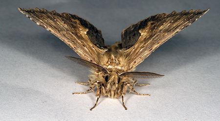 Pterostoma palpina, Lodz(Poland)02(js).jpg