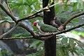 Ptilinopus jambu -Philadelphia Zoo, Pennsylvania, USA-8a (3).jpg