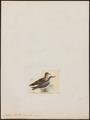 Puffinus kuhlii - 1820-1863 - Print - Iconographia Zoologica - Special Collections University of Amsterdam - UBA01 IZ17900015.tif
