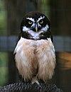 Pulsatrix perspicillata World Bird Sanctuary - Valley Park, MO.jpg