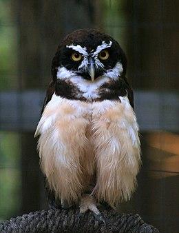 Pulsatrix perspicillata World Bird Sanctuary - Valley Park, MO