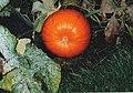 Pumpkin, Beningbrough garden - geograph.org.uk - 274359.jpg