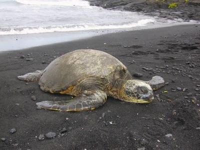Punaluu turtle beach