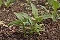 Purple Milkweed Asclepias purpurascens Young Plants 3008px.jpg