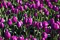Purple Tulips (26991688887).jpg