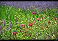 Purple and pink (6113228662).jpg