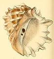 Purpura neritoidea conchologia iconica LA Reeve Pl III.jpg