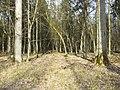 Puszcza Białowieska - panoramio (3).jpg