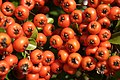 Pyracantha fruit - orange.jpg