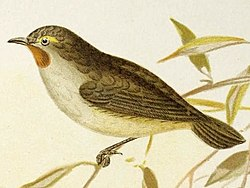 Pyrrholaemus brunneus (The birds of Australia (16989832911)).jpg