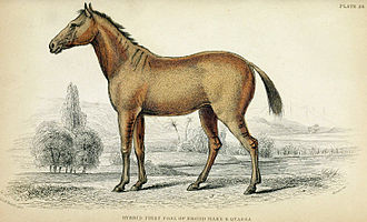 Lord Morton's mare - The first hybrid between the mare and the quagga