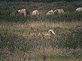 Quartering Barn Owl (Tyto alba) - geograph.org.uk - 1036196.jpg