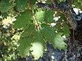 Quercus cerrioides escuain.JPG