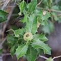 Quercus coccifera-Chêne Kermès-20160712.jpg