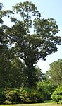 Quercus falcata tree.jpg