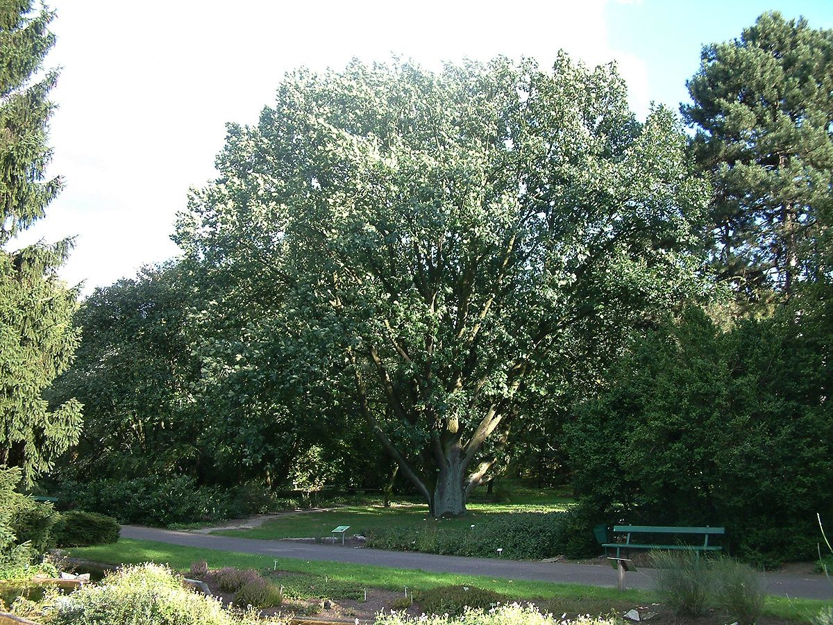 Ungarische Eiche im Botanischen Garten von Posen