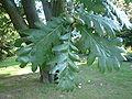 Quercus frainetto RB2.JPG