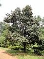Quercus franchetii - Kunming Botanical Garden - DSC03268.JPG