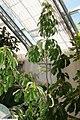Quercus montana 2zz.jpg