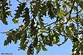Quercus petraea Chêne sessile.jpg