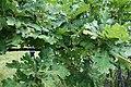Quercus pubescens, Fagaceae 04.jpg