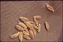 Pacific razor clam - Wikipedia
