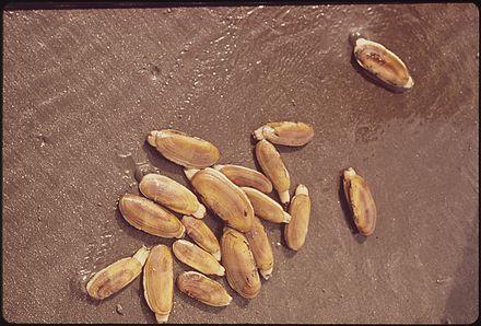 Pacific razor clam - Wikiwand