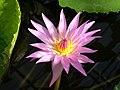 RHS pink lily.jpg