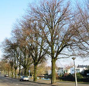 Ulmus minor 'Hoersholmiensis' - 'Hoersholmiensis', Amsterdam.