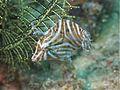 Radial Filefish (6851450578).jpg