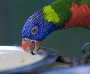 Lories and lorikeets - Rainbow lorikeet drinking
