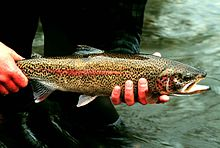 Rainbow trout fish onchorhynchus mykiss detailed photography.jpg